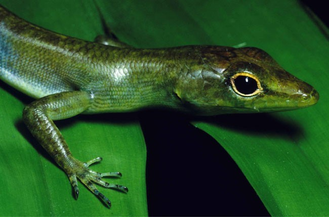 Multimedia Gallery - <em>Prasinohaema virens</em>, one of the described  species of green-blooded lizards from New Guinea. | NSF - National Science  Foundation